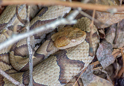 Photograph - Copperhead by Keith Smith
