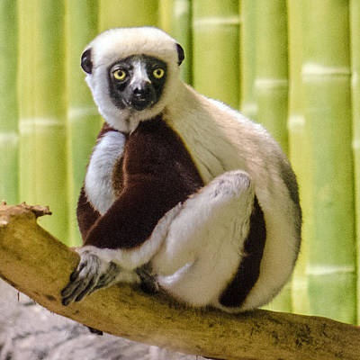 Photograph - Coquerel's Sifaka Portrait by William Bitman