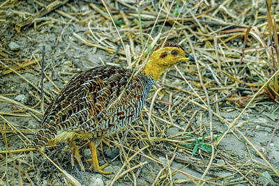 Photograph - Coqui Francolin - Male by Marilyn Burton