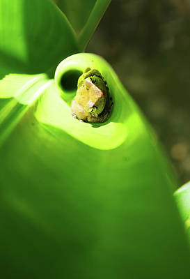 Photograph - Coqui Frog by Anthony Jones