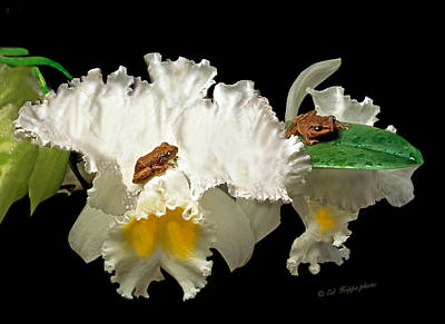 Coqui Photograph - Coqui Frogs On Orchid In Puerto Rico-file #001 by Ed Hoppe