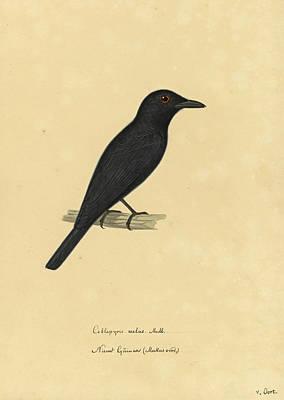 Drawing - Coracina Melas by Pieter van Oort