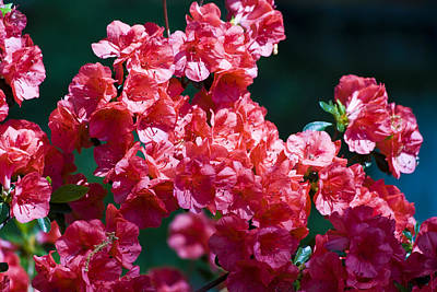 Floral Photograph - Coral Azaleas by Teresa Mucha