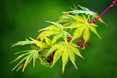 Photograph - Coral Bark Japanese Maple In The Spring by Carolyn Derstine