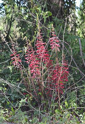 Photograph - Coral Bean - Erythrina Herbacea by rd Erickson