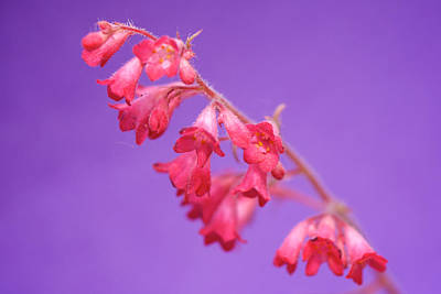 Photograph - Coral Bells by Lisa Knechtel
