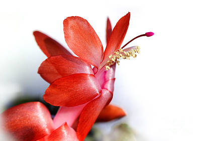 Photograph - Coral Christmas Cactus With White Background by Karen Adams