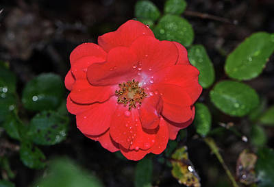 Photograph - Coral Drift Rose 001 by George Bostian