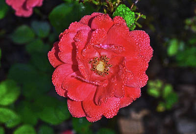 Photograph - Coral Drift Rose 005 by George Bostian