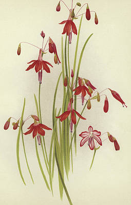 Delicate Drawing - Coral Drops  Bessera Elegans by English School