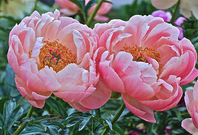 Photograph - Coral Duo Peonies by Janis Nussbaum Senungetuk