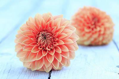 Photograph - Coral Garden Dahlia by Verena Matthew