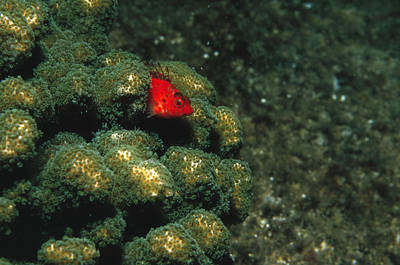 Coral Hawkfish Hiding In Coral Art Print by James Forte