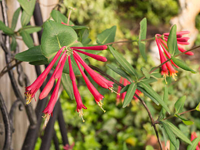 Photograph - Coral Honeysuckle Vine Vivid Flowers by MM Anderson