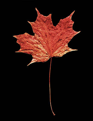 Photograph - Coral Leaf On Black by Connie Fox