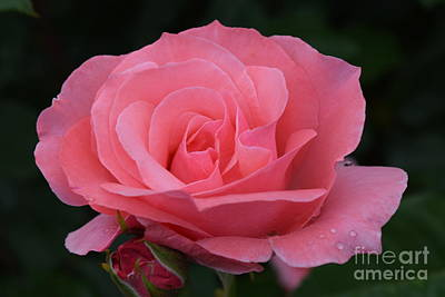 Photograph - Coral Rose With Bud by Jeannie Rhode