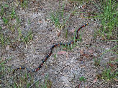 Photograph - Coral Snake - Florida by rd Erickson