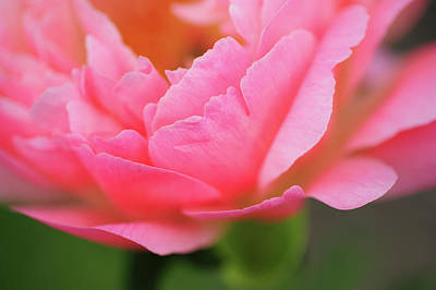 Photograph - Coral Sunset Macro. Beauty Of Peony Flowers by Jenny Rainbow