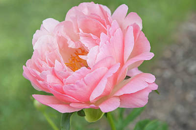 Photograph - Coral Sunset Open Heart. Beauty Of Peony Flowers by Jenny Rainbow