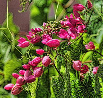 Photograph - Coral Vine - Antigonon Leptopus by HH Photography of Florida