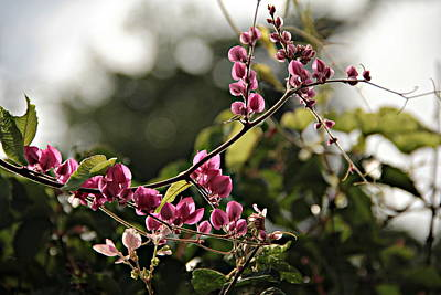 Photograph - Coral Vine by Greg Allore