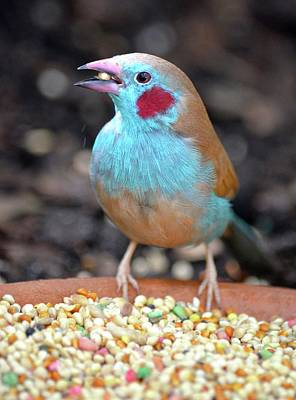 Photograph - Cordon Bleu Finch by Richard Bryce and Family