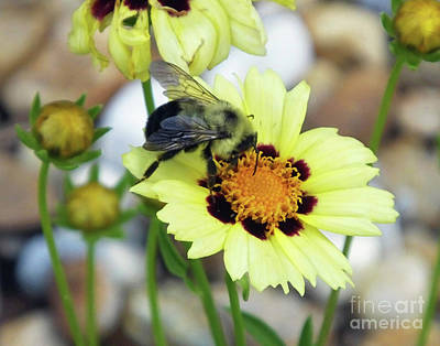 Photograph - Coreopsis And Friend by Lizi Beard-Ward