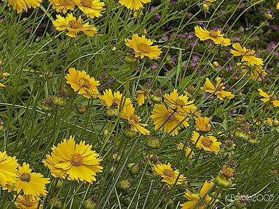 Coreopsis And Mexican Heather Art Print by Kerry Beverly