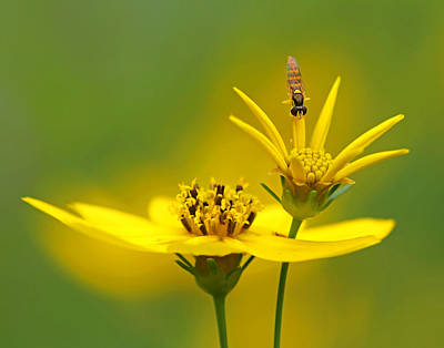 Photograph - Coreopsis And Visitor by Carolyn Derstine