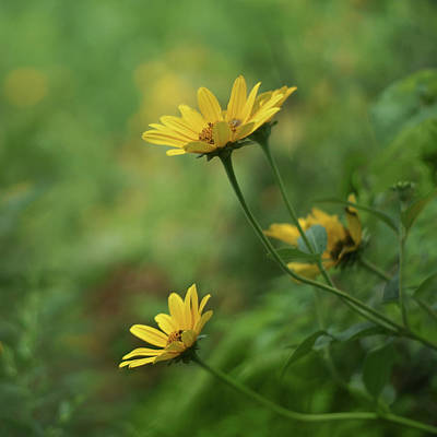 Photograph - Coreopsis - Bokeh by Nikolyn McDonald