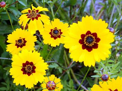Photograph - Coreopsis Flower Love by Belinda Lee