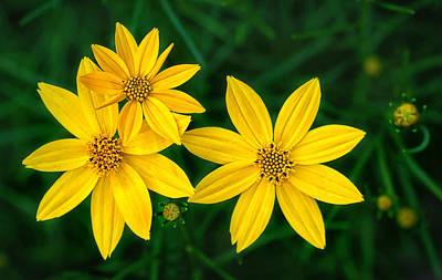 Photograph - Coreopsis Flower Trio by Carolyn Derstine
