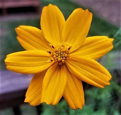 Photograph - Coreopsis by Jim Harris