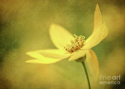 Photograph - Coreopsis by Michael James