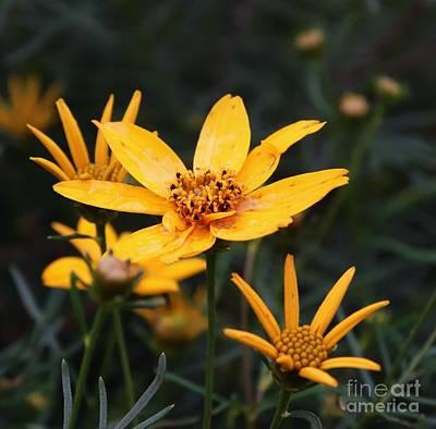 Deer Resistant Flowers Photograph - Coreopsis Moonbeam  by J L Zarek