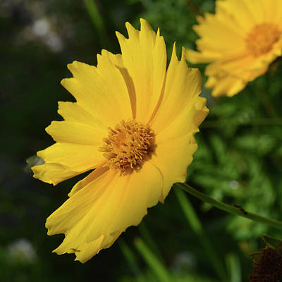 Photograph - Coreopsis by Tana Reiff