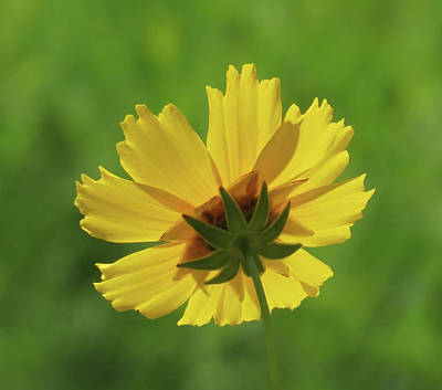 Photograph - Coreopsis Up - Daisy by MTBobbins Photography