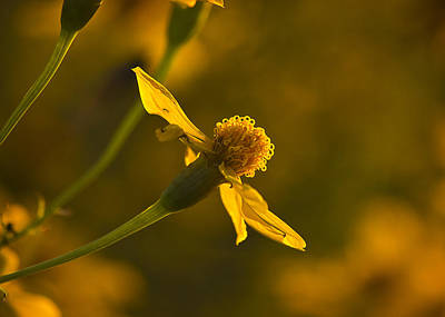 Photograph - Coreopsis Verticillata 2 by Morgan Wright