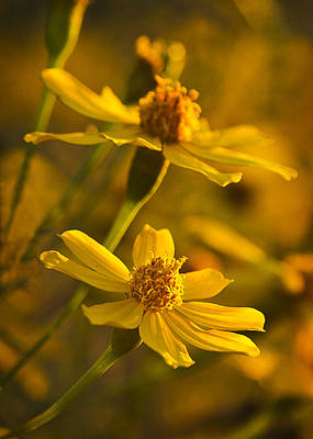Photograph - Coreopsis Verticillata 3 by Morgan Wright