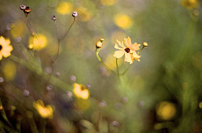 Photograph - Coreopsis by William Wetmore