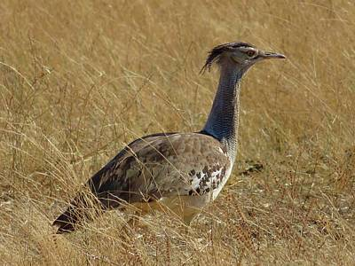 Animals Royalty-Free and Rights-Managed Images - Corey Bustard by Jennifer Wheatley Wolf