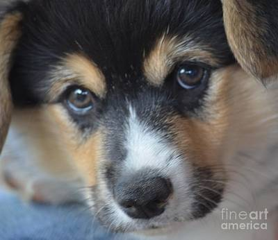 Photograph - Corgi Expression by Maria Urso
