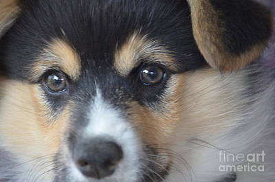 Photograph - Corgi Eyes by Maria Urso