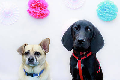 Photograph - Corgi/pug And Blk Lab/hound 2 by Jeanette Fellows