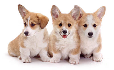 Photograph - Corgi Trio by Warren Photographic