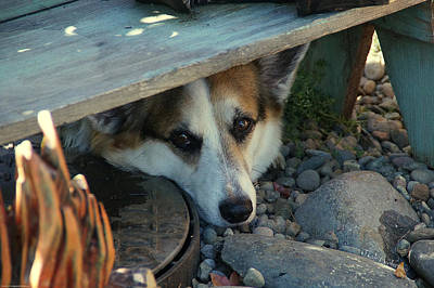 Photograph - Corgi Under The Bench by Mick Anderson
