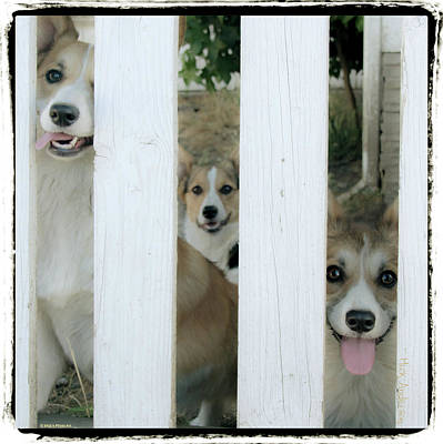 Photograph - Corgis Three by Mick Anderson