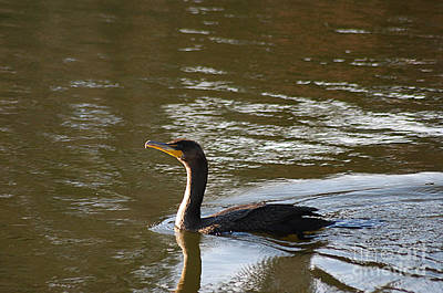 Photograph - Cormorant 20131104_140 by Tina Hopkins