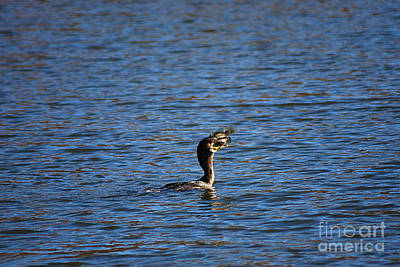 Photograph - Cormorant 20131104_86 by Tina Hopkins