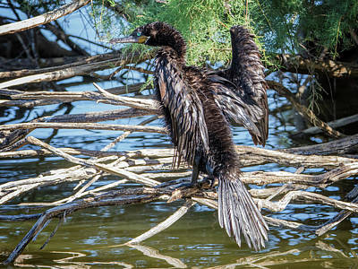 Photograph - Cormorant 7465-100817-1cr by Tam Ryan